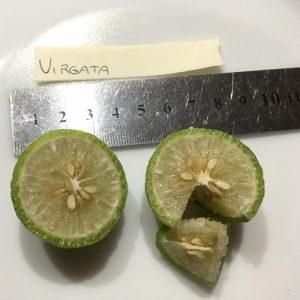 Finger lime Virgata
