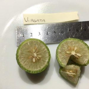 Virgata Finger Lime