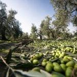 Raccolta olive Olio Evo Cortisella